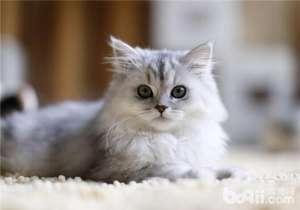 健康的猫咪有哪些标志-猫咪常见病